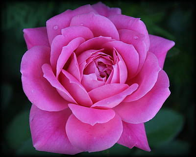 Photograph - The Lovely Magenta Pink Rose Of May by Dora Sofia Caputo Photographic Design and Fine Art