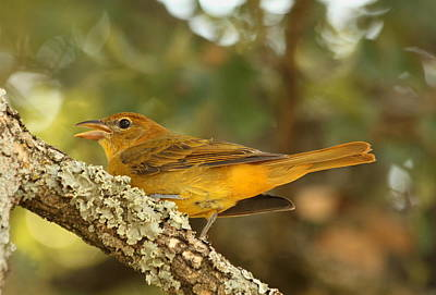 Photograph - Female Summer Tanager by Sheila Brown