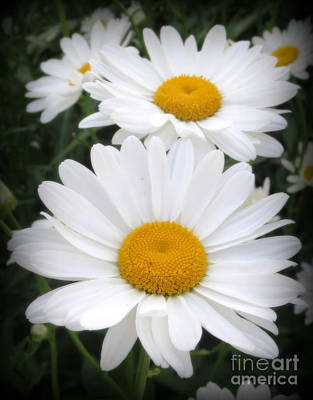 Photograph - A Lovely Pair Of Shasta Daisies by Kay Novy