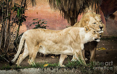 Photograph - A Loving Lion Couple by Julian Starks
