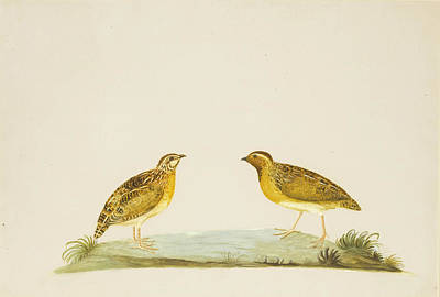 Drawing - A Male And Female Quail by Peter Paillou