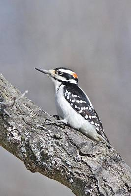 Photograph - A Male Downey Woodpecker 1120 by Michael Peychich