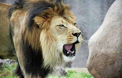 Easter Egg Hunt Rights Managed Images - A Male Lion, Panthera leo, Roaring Loudly Royalty-Free Image by Derrick Neill