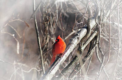 Photograph - A Male Northern Cardinal by Mike Martin