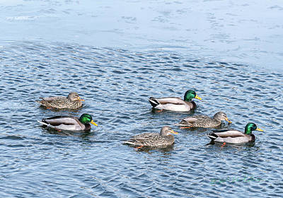 Photograph - A Mallard Group by Edward Peterson
