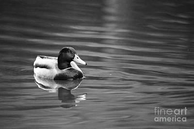 B Drake Photograph - A Mallard by Rachel Morrison