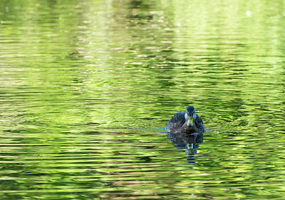 Belmont Lake State Park Wall Art - Photograph - A Mallard Swims At Belmont Lake by Joan D Squared Photography