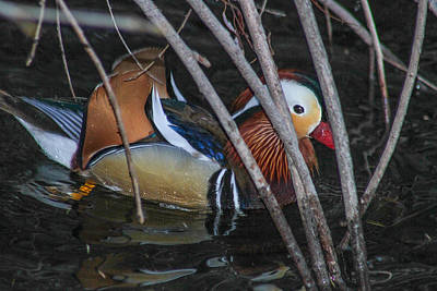 Photograph - A Mandarin In The Bush by Robert Hebert