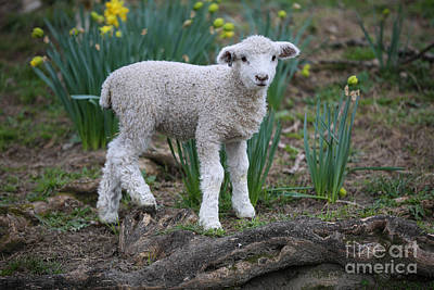 Photograph - A March Lamb by Lara Morrison