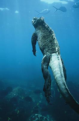 A Marine Iguana Swims Underwater Art Print by Nick Caloyianis