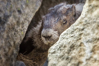 Photograph - A Marmot's Home Among The Rocks by Belinda Greb