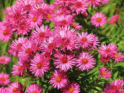 Photograph - A Mass Of Asters by MTBobbins Photography