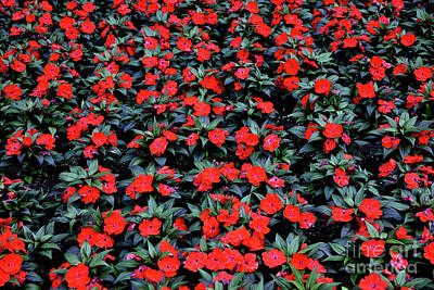 Photograph - A Mass Of Red Impatiens by Tom Wurl