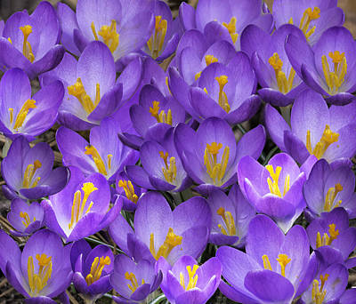 Photograph - A Medley Of Crocuses by Jim Dollar