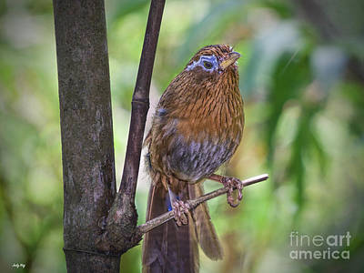 Wild Birds Photograph - A Melodious Thrush by Judy Kay