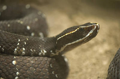 Desert Dome Photograph - A Mexican Cantil Viper At The Henry by Joel Sartore