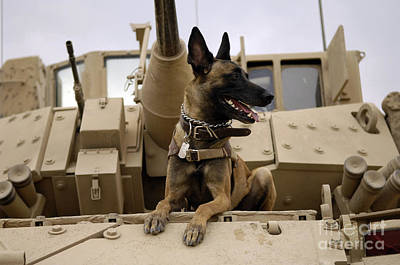 A Military Working Dog Sits On A U.s Art Print