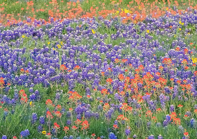 Photograph - A Mixed Meadow Of Blue Bonnets And Indian Paintbrush. by Usha Peddamatham