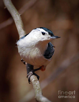 Photograph - A Moment's Peace - White-breasted Nuthatch by Kerri Farley