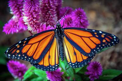 Photograph - A Monarch Butterfly by LeeAnn McLaneGoetz McLaneGoetzStudioLLCcom