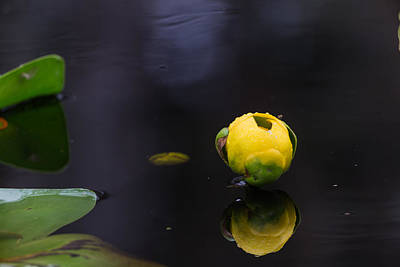 Photograph - A Mornings Dew - Pond Lily by Christopher L Thomley