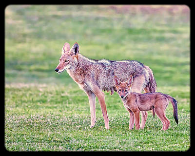 Photograph - A Mother Coyote And Pup by David Wagner