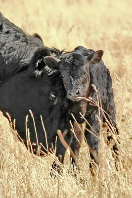 A Mother's Love Black Cow And Calf Art Print