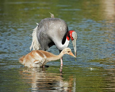 Photograph - Sarus Crane Teaching The Young by Dawn Currie