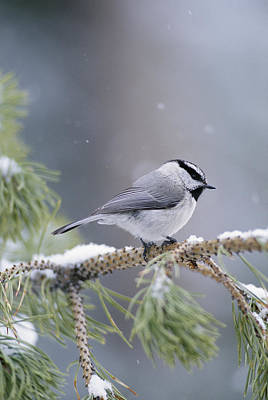 Natural Forces Photograph - A Mountain Chickadee Parus Gambeli by Michael S. Quinton