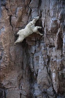 Balance Of Nature Photograph - A Mountain Goat Descends A Sheer Rock by Joel Sartore