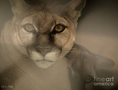 Photograph - A Mountain Lion And Her Cub by Julian Starks