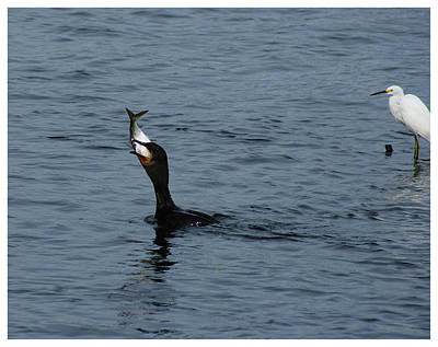 Photograph - A Mouthful - Cormorant Fishing by Margie Avellino