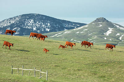 Working Cowboy Photograph - A Moving Herd by Todd Klassy