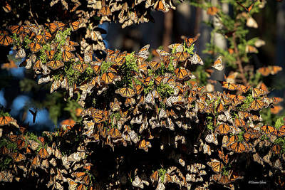 Photograph - A Multitude Of Monarchs by Deana Glenz