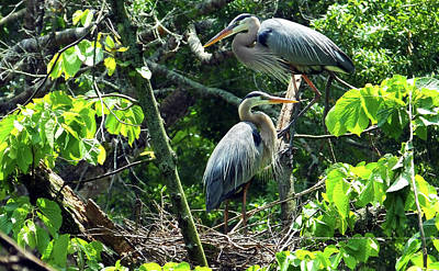 Photograph - A Nesting Pair Of Great Blue Herons by Judy Wanamaker