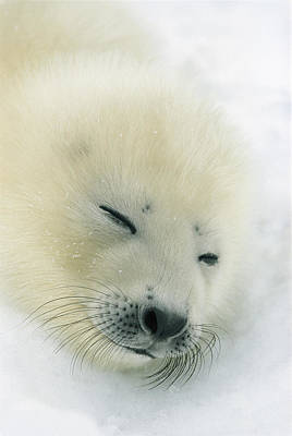 Natural Forces Photograph - A  Newborn Harp Seal Pup In Its Thin by Norbert Rosing