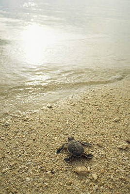 And Threatened Animals Photograph - A Newly Hatched Green Sea Turtle Making by Tim Laman
