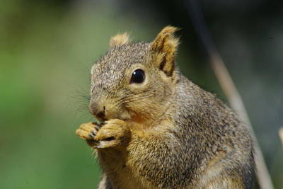 Nibbling Photograph - A Nibbling Squirrel   by Jeff Swan