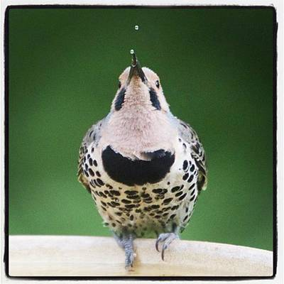 A Northern Flicker Blowing Bubbles At Art Print
