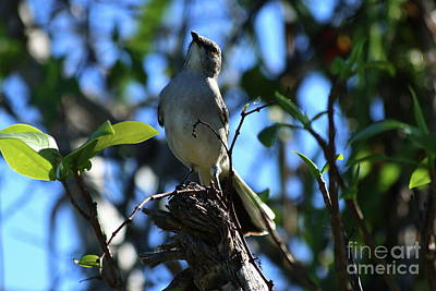 Photograph - A Northern Mockingbird by Christiane Schulze Art And Photography