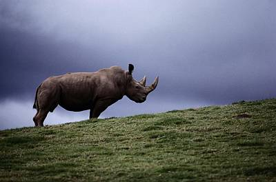 And Threatened Animals Photograph - A Northern White Rhinoceros At The San by Michael Nichols