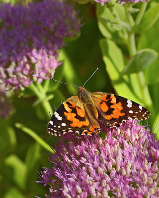 Mountain Landscape Rights Managed Images - A Painted Lady Butterfly Royalty-Free Image by Gary Langley