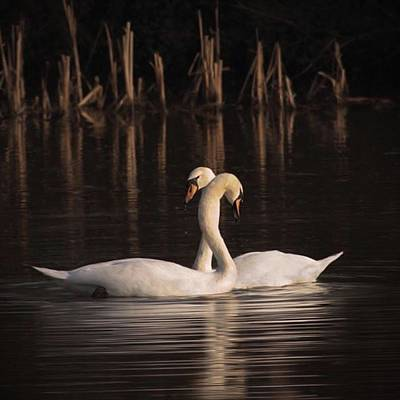 Artwork Photograph - A Painting Of A Pair Of Mute Swans by John Edwards