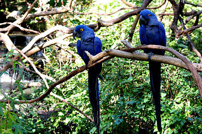 Photograph - A Pair Of Blue Macaws by Jan Amiss Photography