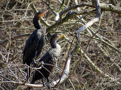 Photograph - A Pair Of Cormorants by Melissa Messick