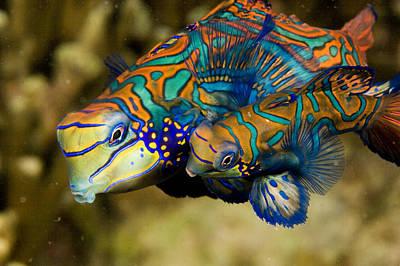 Malapascua Island Photograph - A Pair Of Mandarinfish Swim Close by Tim Laman