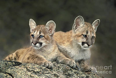 Photograph - A Pair Of Mountain Lion Cubs Felis Concolor by Dave Welling