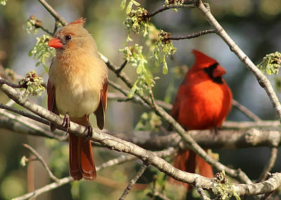 Photograph - A Pair Of Northern Cardinals by TnBackroadsPhotos