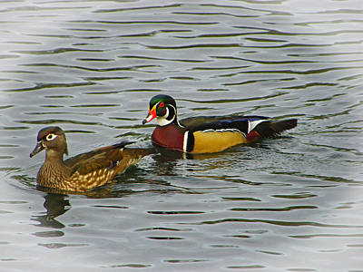 Photograph - A Pair Of Painted Wood Ducks by Judy Wanamaker