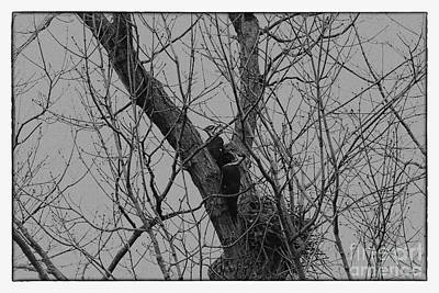 Photograph - A Pair Of Pileated Woodpeckers Black And White by Karen Adams